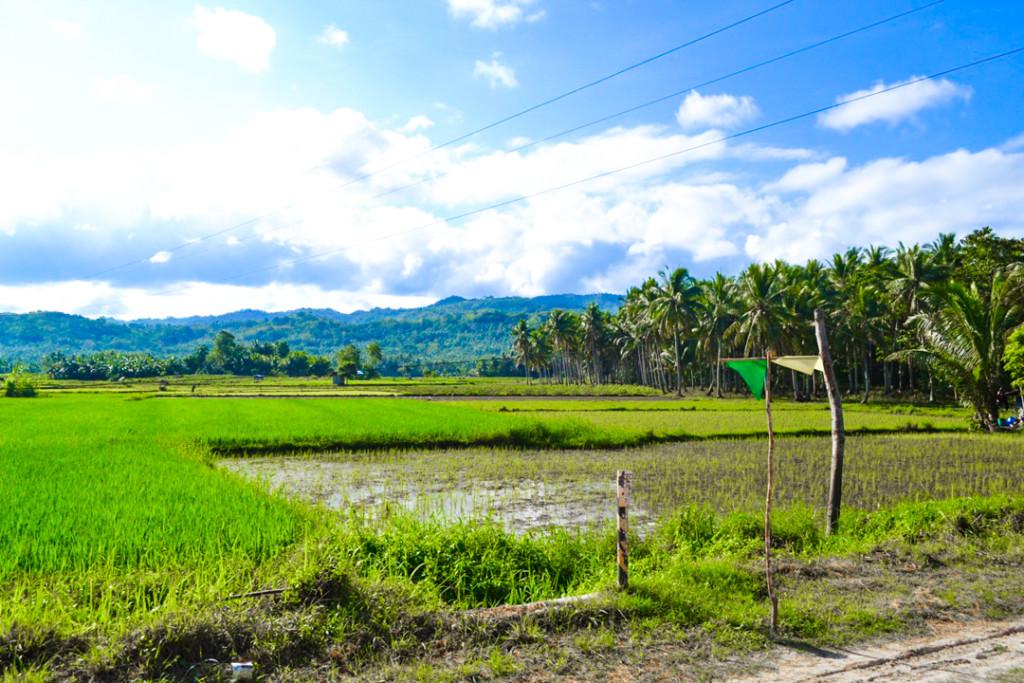 Siquijor rice paddy