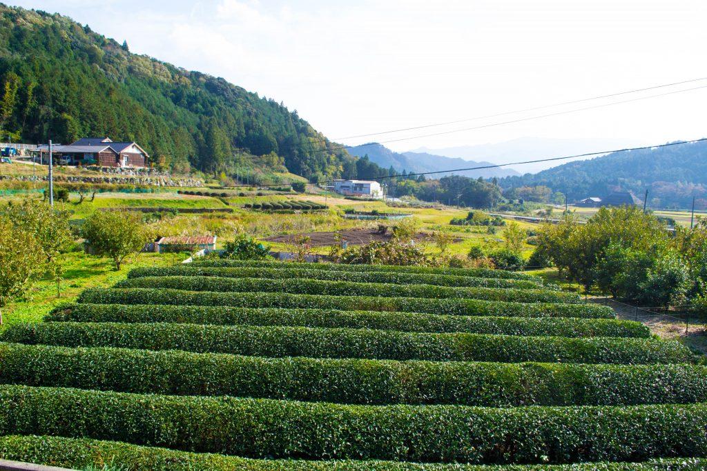 Tea plantation Mie