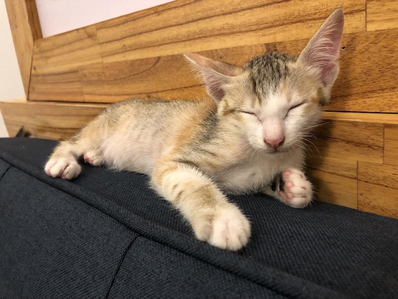Foster kitten vietnam