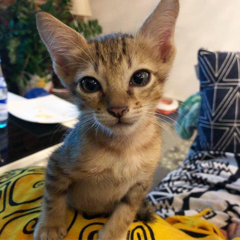 foster kitten hoi an