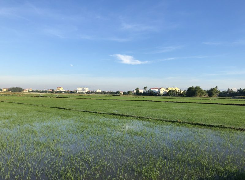 Hoi An rice fields